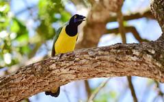 Birds 40 (orientalizing) Tags: animals birds desktop featured greenjay kabah mexico northamerica yucatan