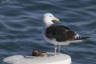 Buoy meets gull   Larus dominicanus