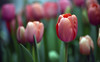 Coming Attractions (Lala Lands) Tags: springtulips smithcollegeslymanconservatorybulbshow comingattractions springflowers bokeh shallowdof nikkor105mmf28 nikond7200