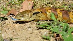 DSC_0016 (12) (RUMTIME) Tags: blue bluetongue lizard coochiemudlo coochie queensland coth5 fantastic nature
