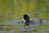 Coot, Fulica atra (Artur Rydzewski) Tags: coot fulicaatra bird blackbird water nature greenwater