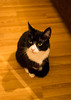 untitled-8386 (marklewis35) Tags: cat cats tuxedo cute pet pets black white whiskers