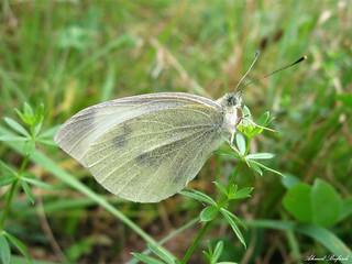 Butterfly 1555