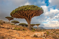 Dragon trees at Dixam plateau, Socotra Island, Yemen (stefania.guglielmi) Tags: socotra dragon tree nature landmark yemen background dixamplateau landscape endemic species dracaena cinnabari draco blue exotic flora image island plant rare sky strange tropical trunk unusual wildlife distinctive unique