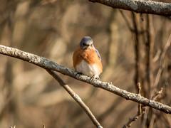 Eastern Bluebird (EABL) Sialia sialis (kevingilesbirds) Tags: ebird kevingiles flickr easternbluebird