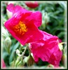 Rock Rose (ERIK THE CAT Struggling to keep up) Tags: barnbank stafford local flowers doublefantasy