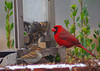At the Feeder (greyk200d) Tags: mississippi snow cardinal