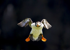 Puffin (wayne.withers1970) Tags: puffin flight feathers wings beautiful colour colourful fauna flickf wales seabird black summer june flying waterbird orange wildlife nature natural skomer island country countryside white dof