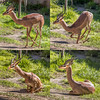 How to sit like a gerenuk; yoga applied. (Flight of life) Tags: gerenuk african antelope sitting yoga san diego zoo