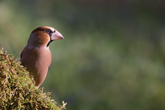 Grosbec casse-noyaux - Coccothraustes coccothraustes - Hawfinch (patricia.hoedts) Tags: france ariège mazères domainedesoiseaux ddo bird grosbeccassenoyaux coccothraustescoccothraustes hawfinch canon canon6d sigma sigma150600contemporary