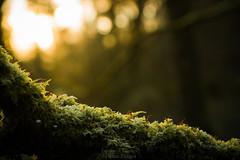 Les promesses de l'Aube - The promises of dawn (Sylvain Paligot - Captures de lumières) Tags: sunrise forest forêts mousse givre ice frost