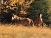 Wild Horses Standing Guard (pamfromcalgary) Tags: wildhorses pamhawkes alberta equines autumn nordegg