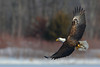 EagleFishing (Rich Mayer Photography) Tags: eagle eagles fishing wild wildlife animal animals avian nature fly flying flight life bird birds nikon