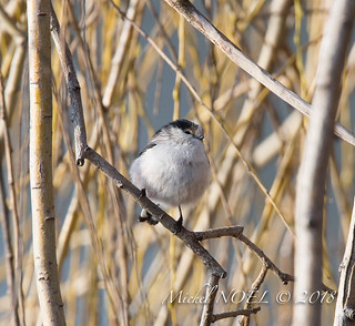 Mésange à longue queue - Aegithalos caudatus - Long-tailed Tit : Michel NOËL © 2018-7882.jpg