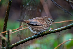 Song Sparrow (red-wing) Tags: bird animal outdoors nature canada britishcolumbia burnaby centralpark songsparrow sparrow perch branch tree