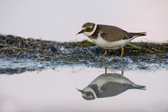 Colazione allo specchio (mauro.santucci) Tags: corrieregrosso charadriushiaticula charadriidae uccello uccelli birds wildlife