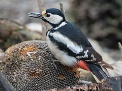 29 01 2018 (cathyk31) Tags: picépeiche oiseau dendrocoposmajor greatspottedwoodpecker picidés piciformes bird