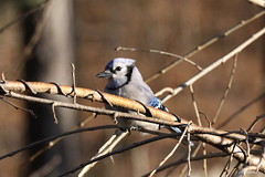 """Blue Jay"" ""Cyanocitta cristata"" (jackhawk9) Tags: bluejay cyanocittacristata birds jay wildlife nature jackhawk9 southjersey newjersey usa backyardbirding canon ngc birdwatcher fantasticnature"