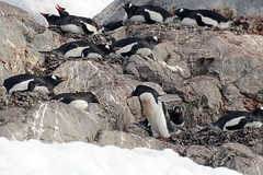 Brown_2017 12 11_2786 (HBarrison) Tags: harveybarrison hbarrison antarctica antarcticpeninsula paradiseharbor brownstation gentoopenguin taxonomy:binomial=pygoscelispapua arctic antarctic arcticantarctic