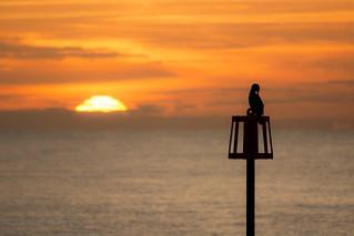 Cormorant preening at Sunrise