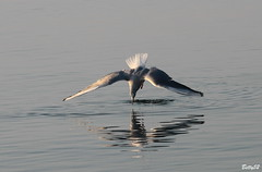 IMG_6618  Il tuffo..... (Betti52) Tags: gabbiano post30012018 lago trasimeno umbria italia