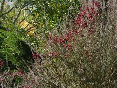 Leptospermum scoparium J.R.Forst. & G.Forst. 1775 (MYRTACEAE) cv. 'Red Damask'. (helicongus) Tags: leptospermumscopariumreddamask leptospermum myrtaceae jardínbotánicodeiturraran spain
