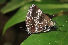 Brevianta ematheon - female (Camerar 4 million views!) Tags: breviantaematheon butterfly lycaenidae peru butterflies insect