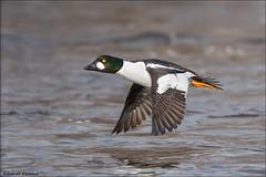 Common Goldeneye Zoomin By. (Daniel Cadieux) Tags: goldeneye commongoldeneye male drake fly flying ottawa ottawariver fast water waterfowl duck