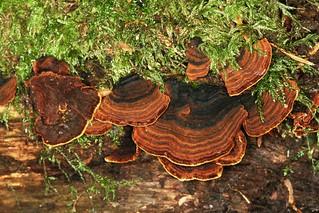Hymenochaete rubiginosa, l'hyménochaète rouillé.