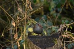 Water Rail (_J @BRX) Tags: waterrail rspb leightonmoss january2018 lancashire england uk winter bird nikon d5200