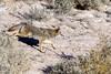 Coyote stalking prey (Ed Sivon) Tags: america canon nature lasvegas wildlife wild western southwest desert clarkcounty clark vegas flickr bird henderson nevada