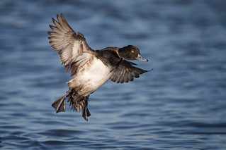 Incoming Scaup...