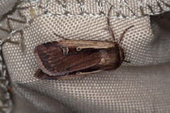 Hellrandige Erdeule (planetvielfalt) Tags: auenwald lepidoptera noctuidae noctuinae schkeuditz sachsen deutschland