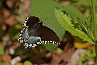 Rolf_Nagel-Fl-9428-Papilio_troilus