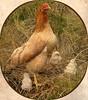 Proud Mum (Mary Faith.) Tags: bird hen chicken poultry mother grass