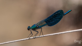 Calopteryx xanthostoma (macho/male)