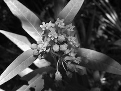 flor em pb (Jakza) Tags: flor pb