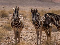 Zebras (Melvinia_) Tags: olympusomdem1 namibia namibie desert désert namibrand naukluft namibrandfamilyhideout sand zèbre zebra animal safari africa afrique afriqueaustrale geoafrica