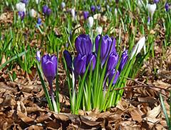 Crocuses (eric robb niven) Tags: ericrobbniven scotland dundee botanic gardens crocuses springwatch