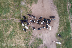 Shot looking directly down of a group holstein diary cows in field, Tifton, Georgia. (Remsberg Photos) Tags: farm georgia tifton cow cattle herd agriculture aerial drone holstein bovine ag highangle dairy dairycows usa