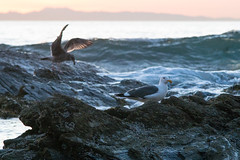 A Challenger Appears (asiantango) Tags: animal bird birds california crystalcove goldenhour item landscapes landscaping lens newportbeach nikkor180mmf28aised object orangecounty out outdoor outdoors outside outsides pacificocean sunny water weather