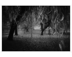 U N T I T L E D  [ F O G  # 7 ] (bruXella & bruXellus) Tags: parcduden brüssel bruxelles brussels brussel belgien belgique belgium belgië leicax1 blackwhite bnw monochrome brume brouillard nebel fog grain grainy