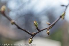 _MG_2820.jpg (orig_lowolf) Tags: backyard bokeh buds canoneos5dmarkii flickr lakeoswego oregon peartree sigma247028ex spring