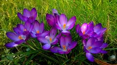 In the Long Grass (mcginley2012) Tags: crocus flower green purple colour light spring nature cameraphone lumia1020 grass stamen petal garden vibrant
