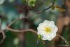 DSC09290 (Jethuynh | 0903689703) Tags: mai trang apricot white hoa xuan tao dan