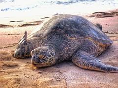 Lounging sea turtle, north shore of Oahu. (Fotofricassee) Tags: sea turtle oahu beach water