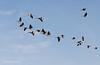 erop-uit (Don Pedro de Carrion de los Condes !) Tags: donpedro d700 ganzen vlucht vogels formatie leider overwinteren vorst koude vliegen