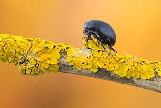 Black Leaf Beetle