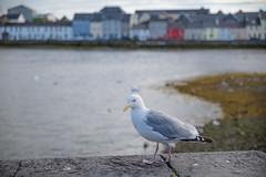 Seagull (Hattifnattar) Tags: galway ireland seagull bokeh pentax dfa2470mm