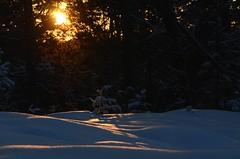 Forest light (tonibjörkman) Tags: hanko finland winter snow nikon nature cold tree camera europe suomi luonto talvi jää lumi puu auringonlasku sunset